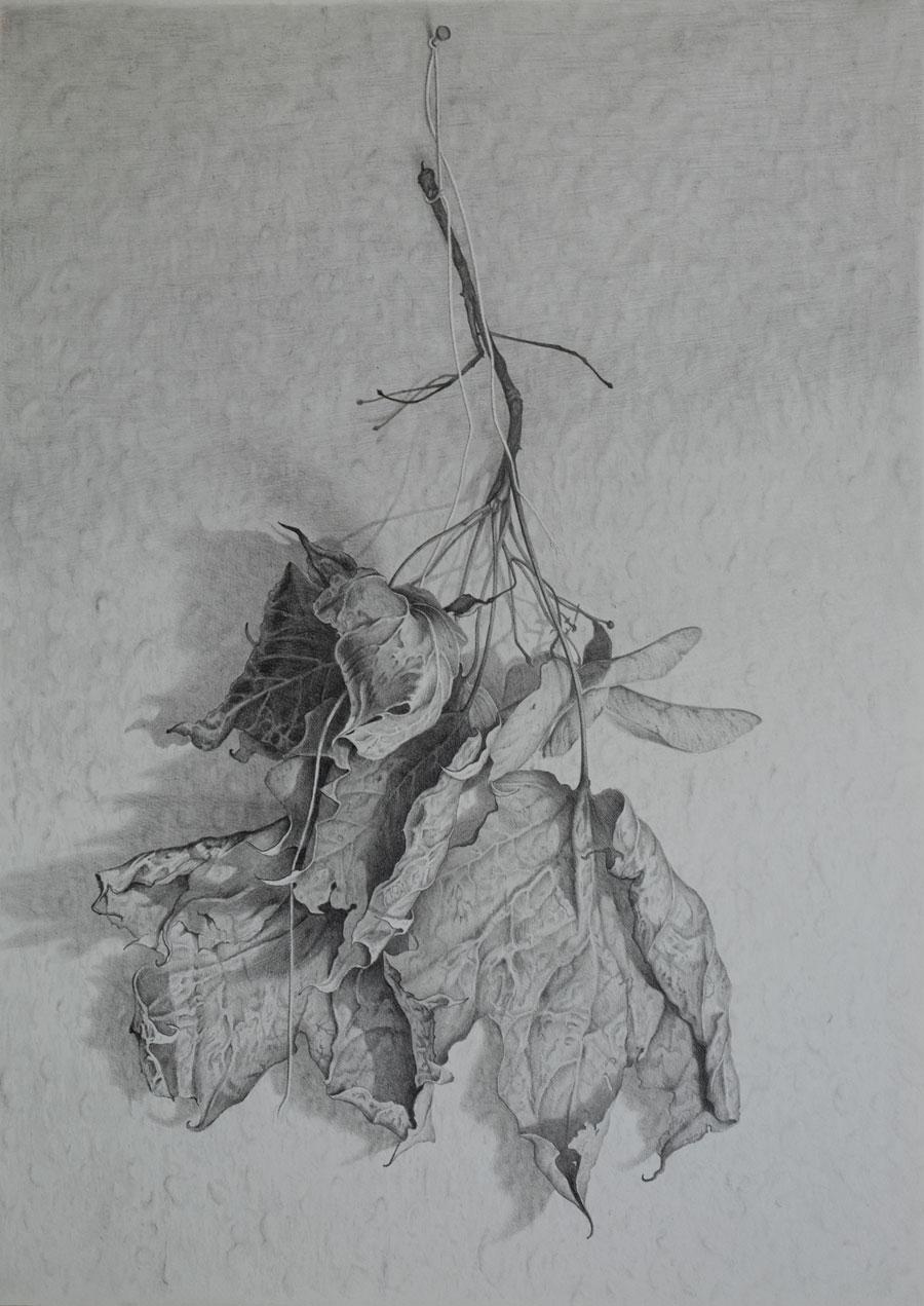 """Ahornlaub"", Bleistift auf Papier, 25cm x 35 cm, 2015"